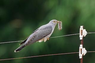 - African Cuckoo