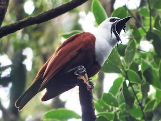 - Three-wattled Bellbird