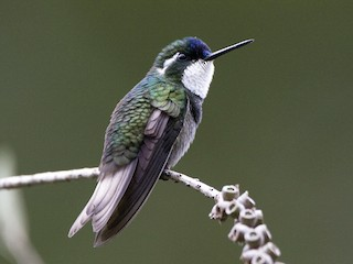 - White-throated Mountain-gem