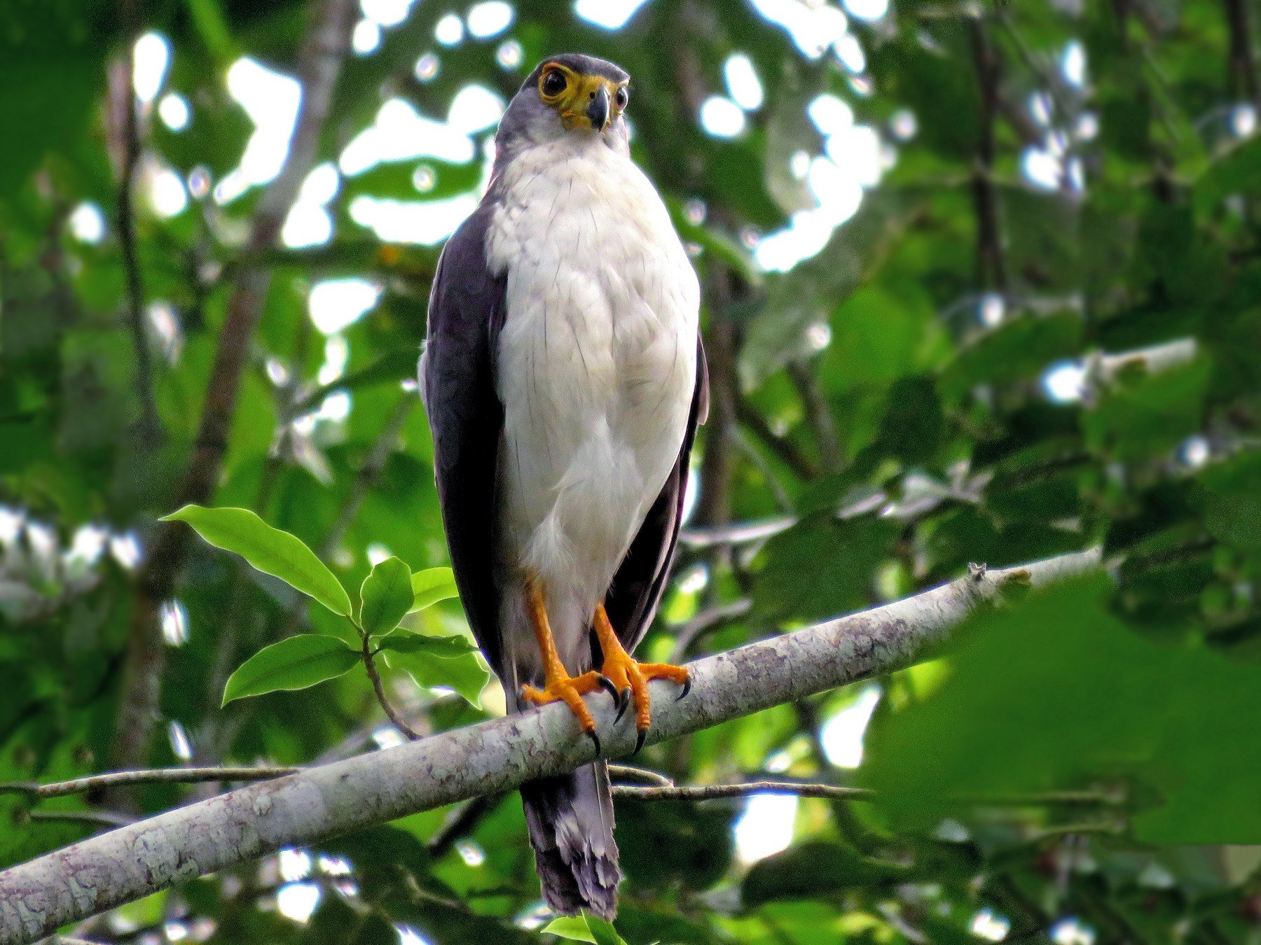 Slaty-backed Forest-Falcon - Fernando Angulo - CORBIDI