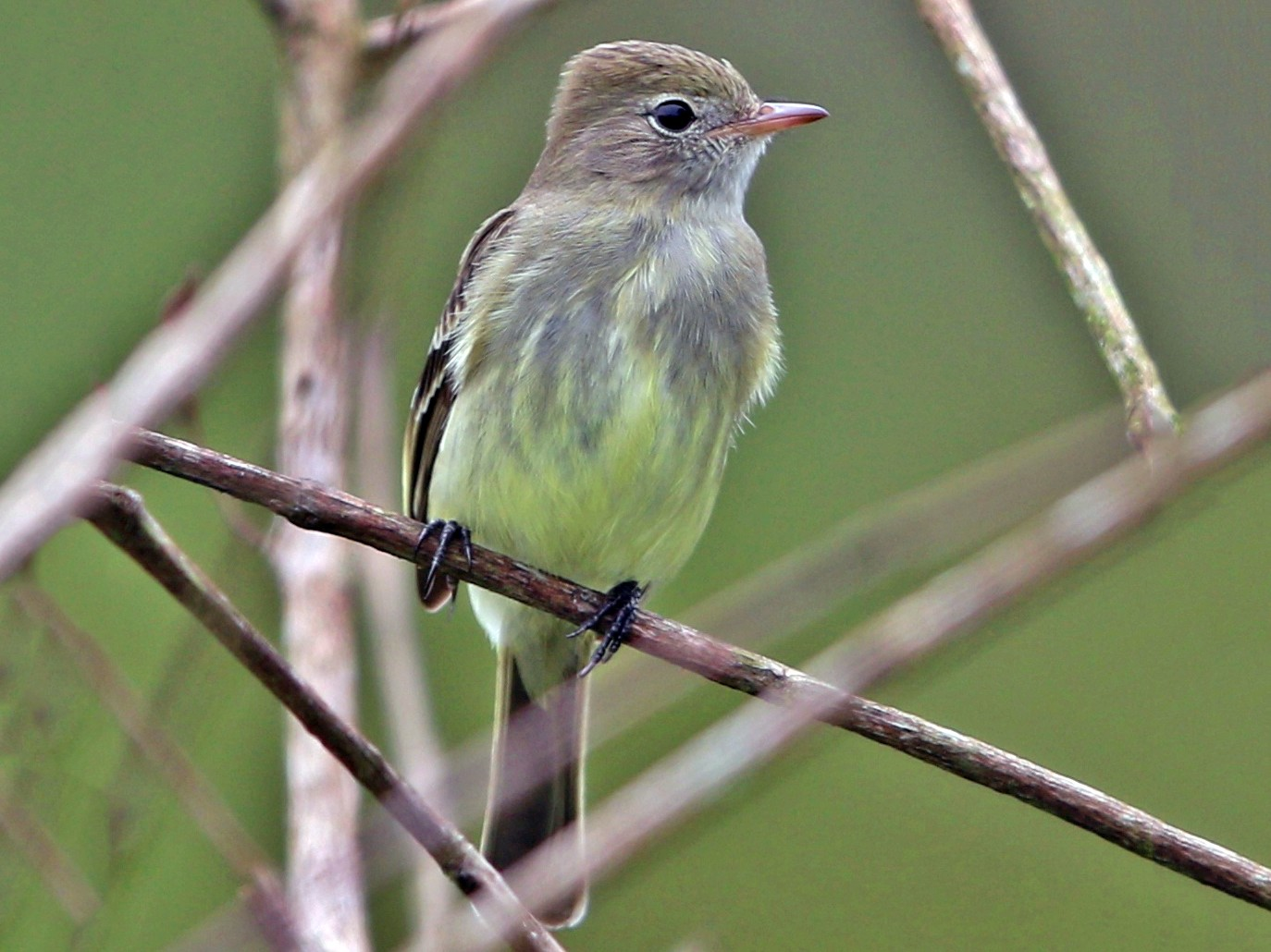 Lesser Elaenia - Jeff Tingle