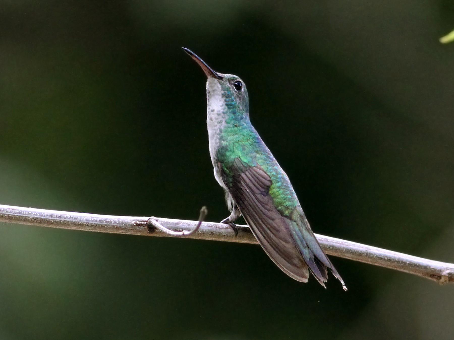 Mangrove Hummingbird - Andrew Spencer