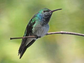 - Mangrove Hummingbird
