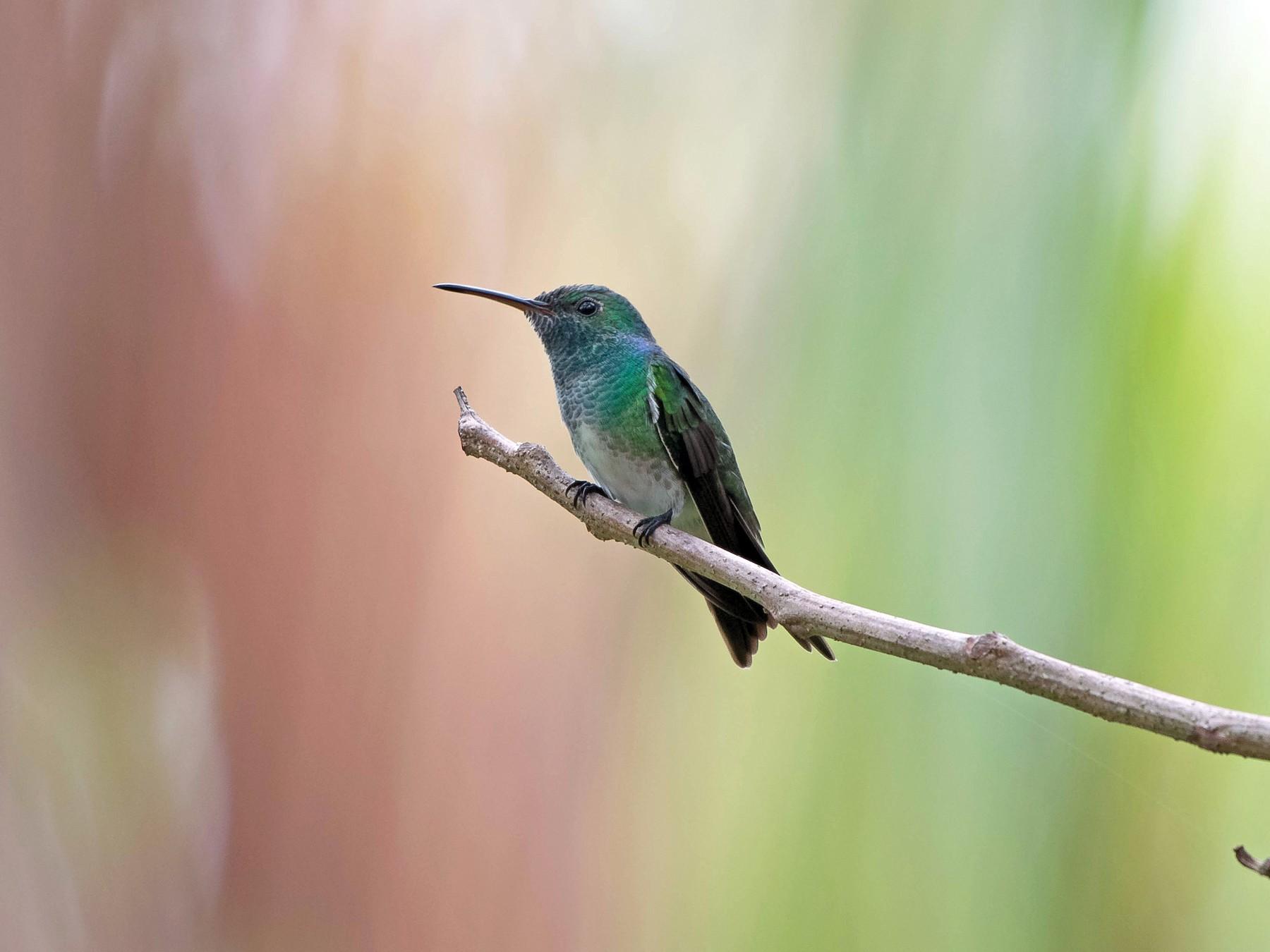 Mangrove Hummingbird - Matthew Bell