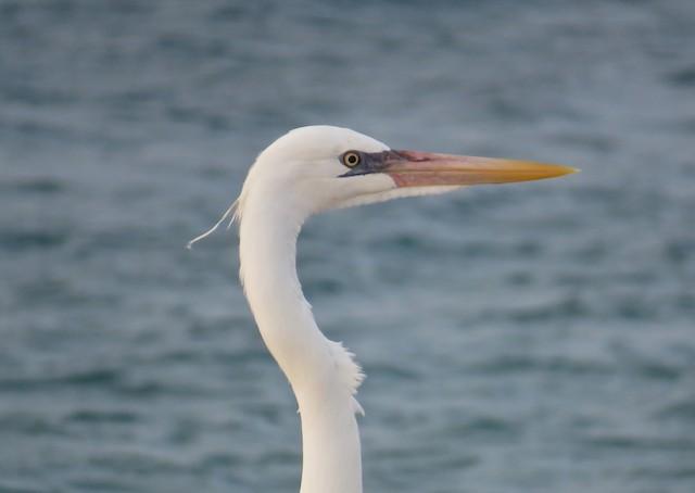 ©Roy Netherton - Great Blue Heron (White form)