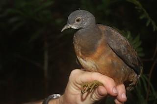 Little Tinamou, ML47882201