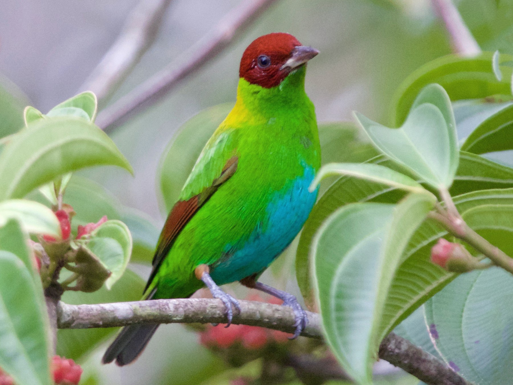 Rufous-winged Tanager - Karl Overman