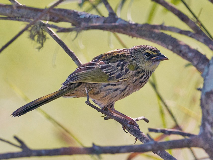 Wedge-tailed Grass-Finch - Evaldo Cesari de de Oliveira Jr