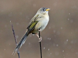- Wedge-tailed Grass-Finch