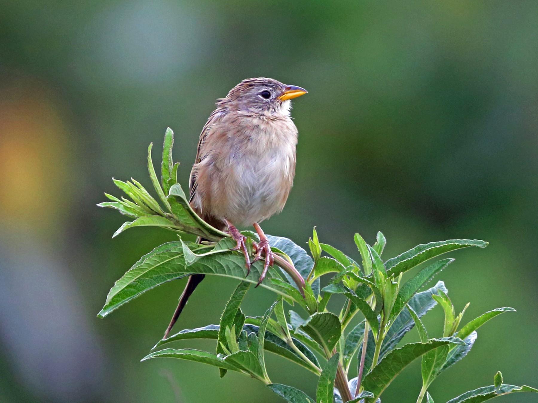 Wedge-tailed Grass-Finch - Nigel Voaden