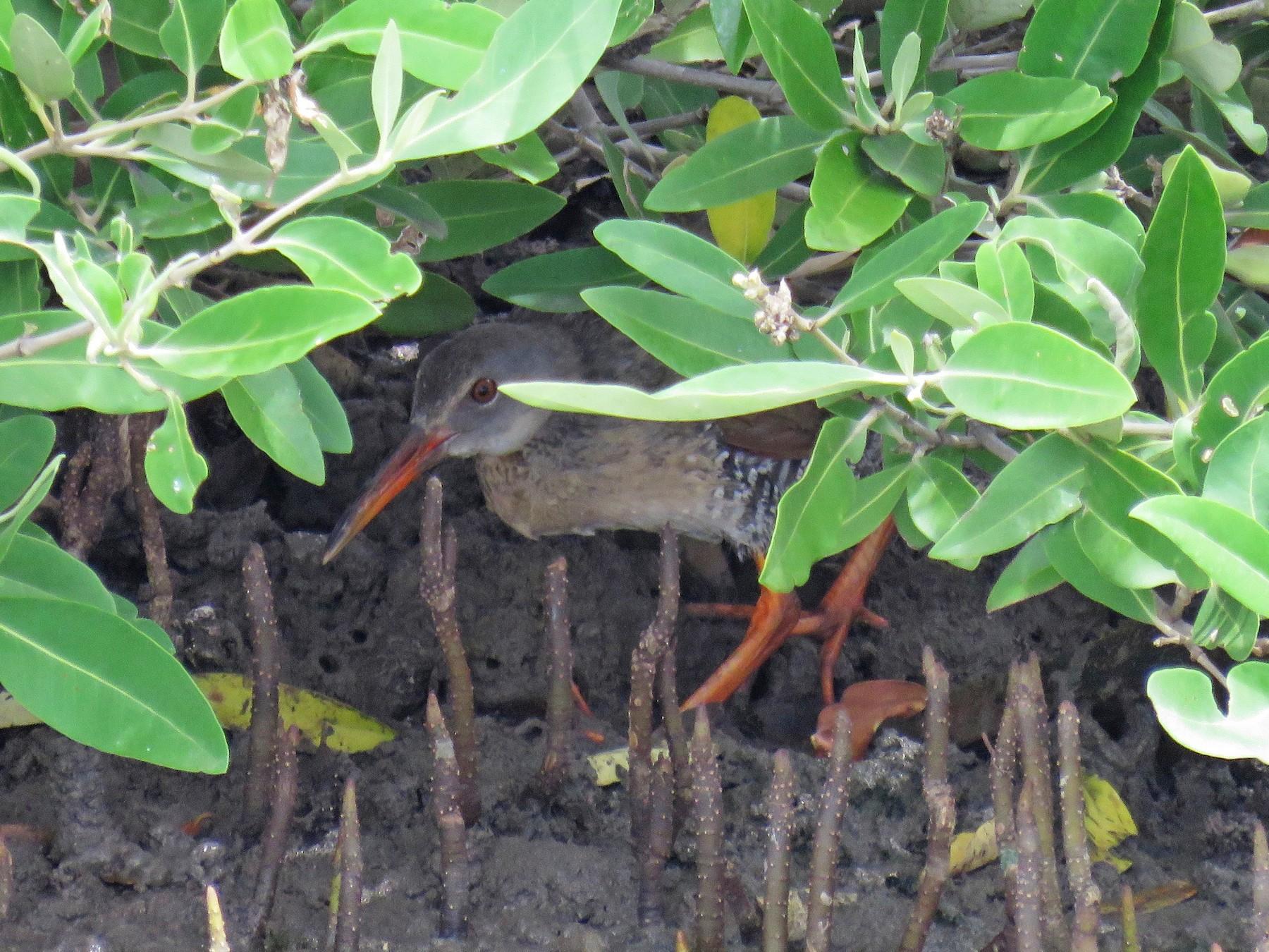 Mangrove Rail - John van Dort