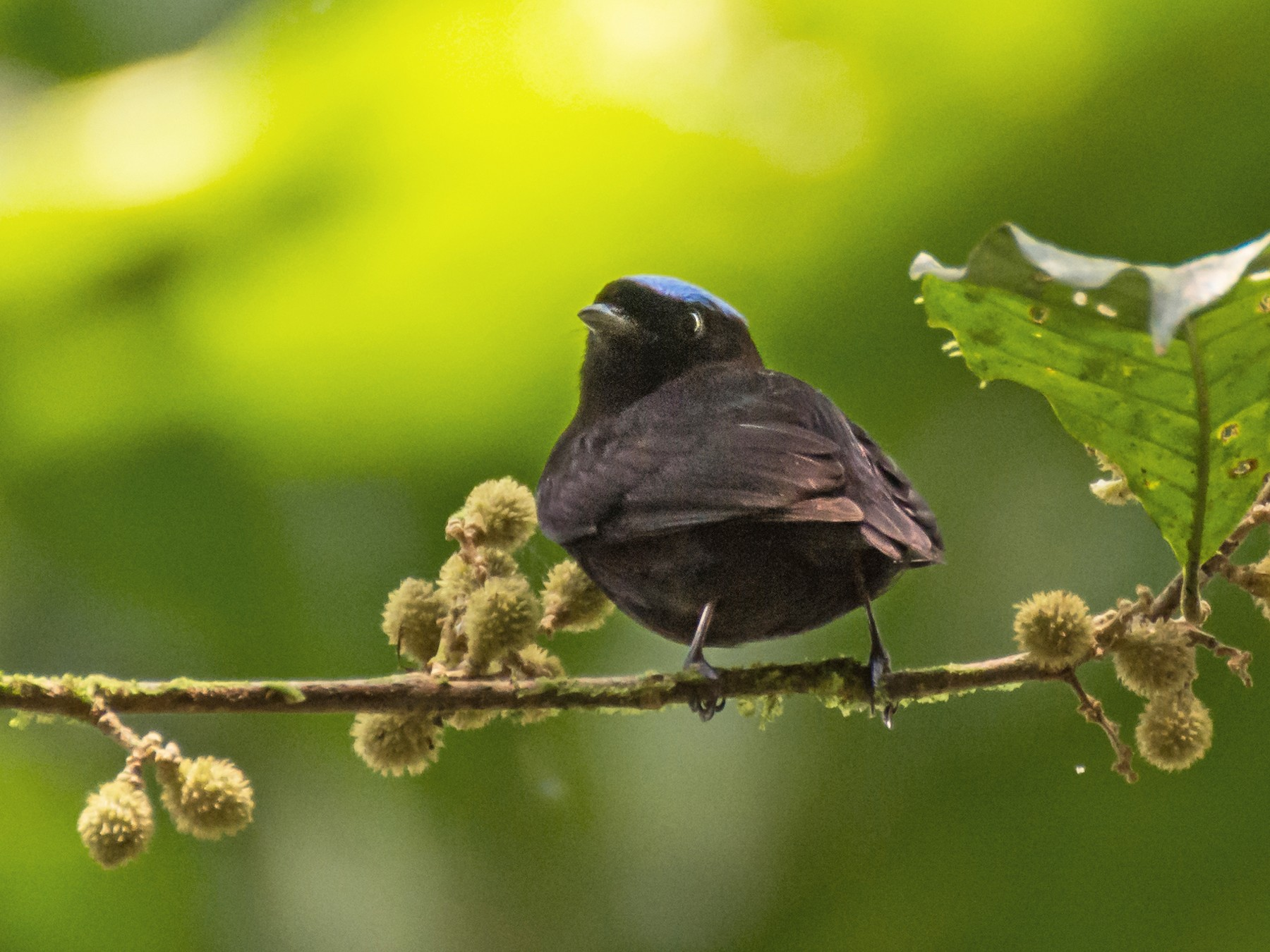 Blue-crowned Manakin - Camille Merrell