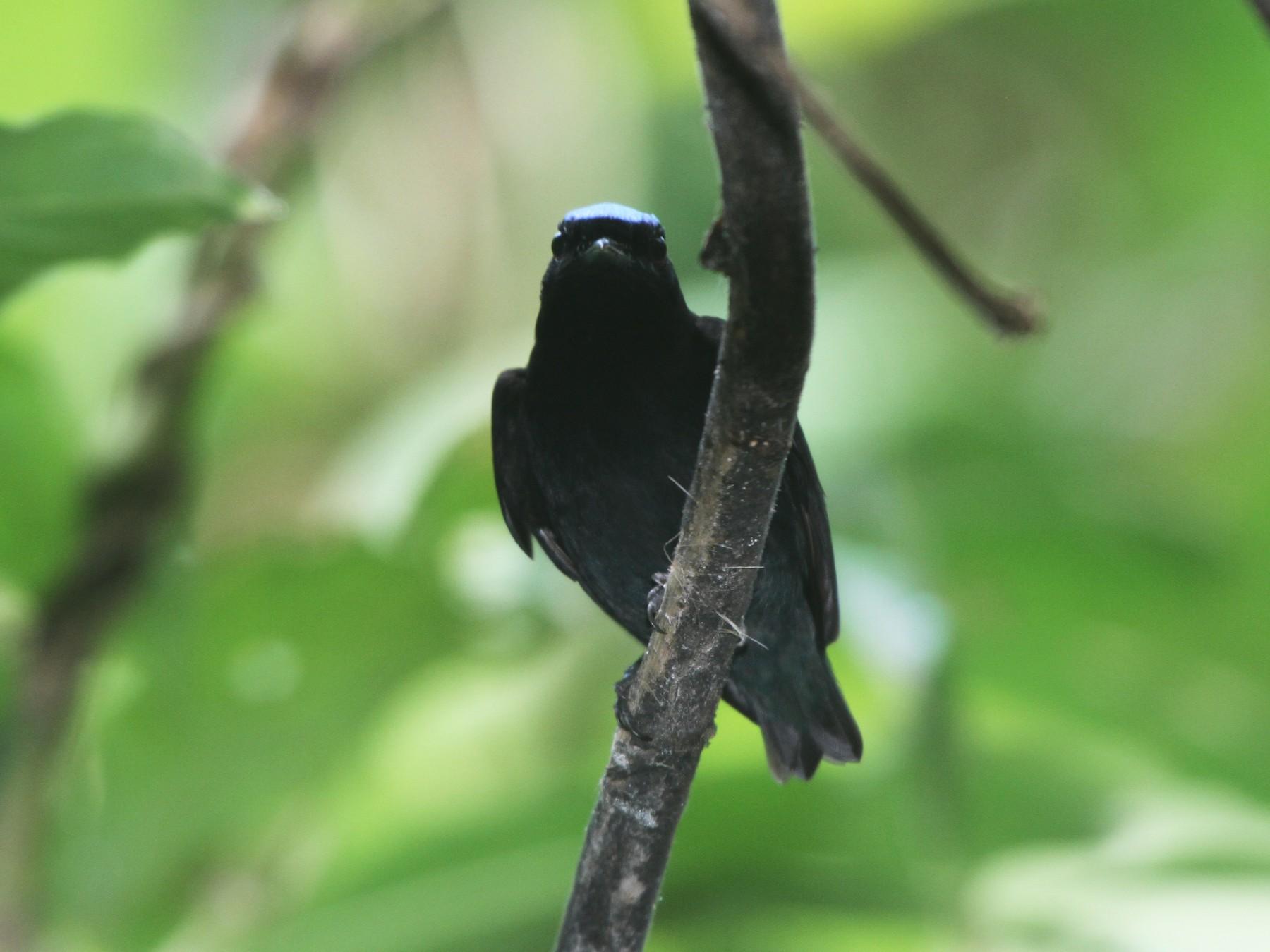 Blue-crowned Manakin - Pam Rasmussen