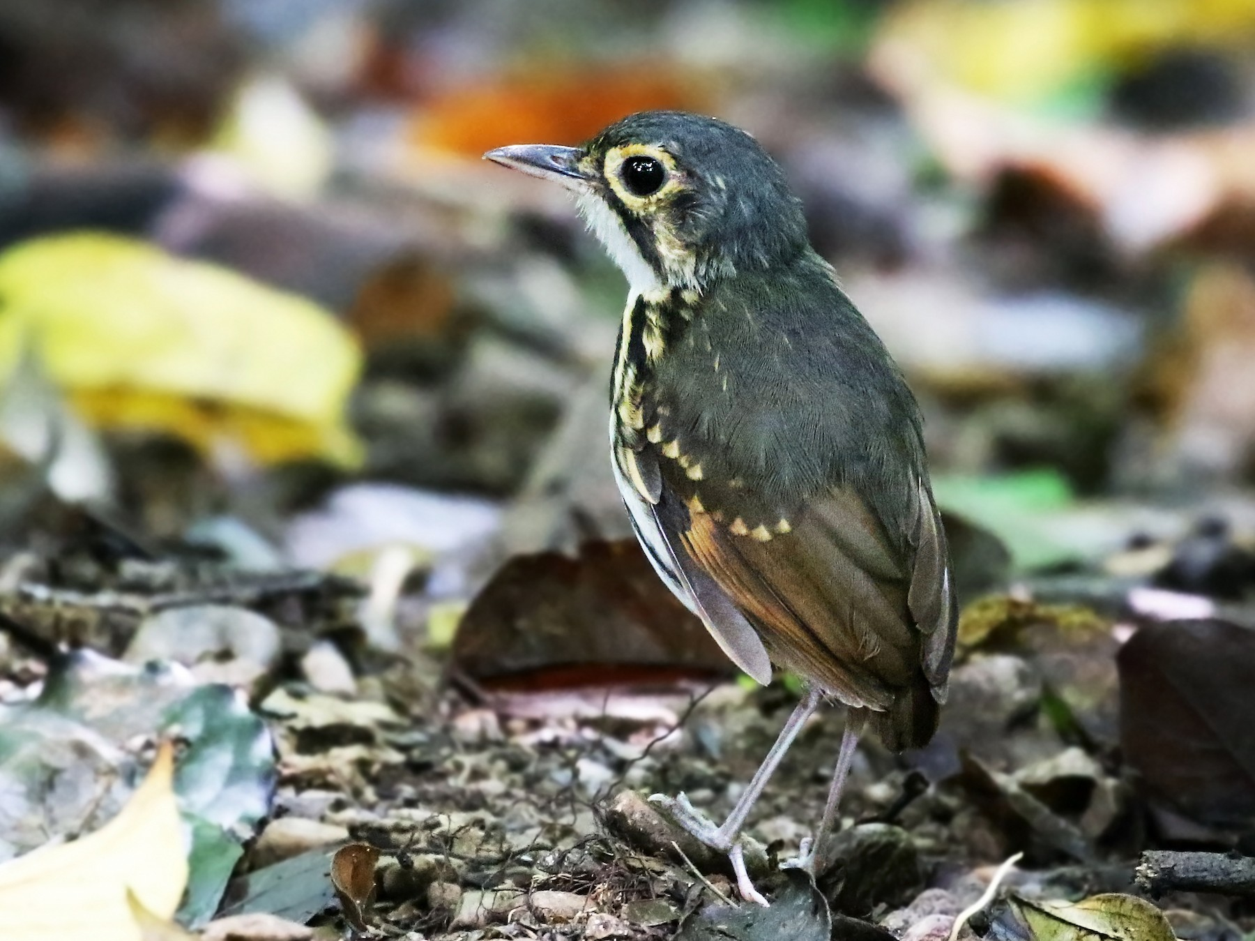 Streak-chested Antpitta - Andrew Spencer
