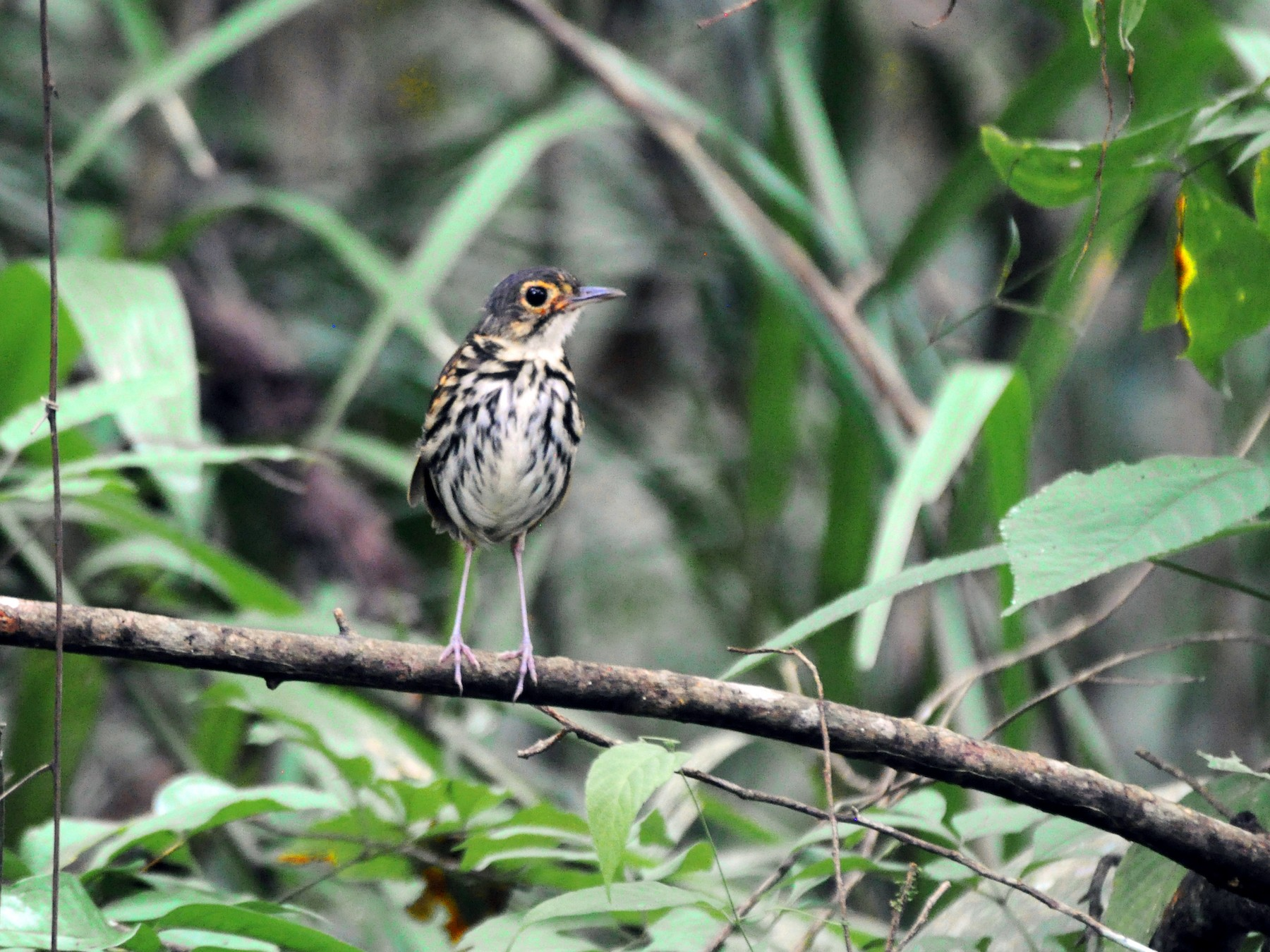 Streak-chested Antpitta - Adam Sell