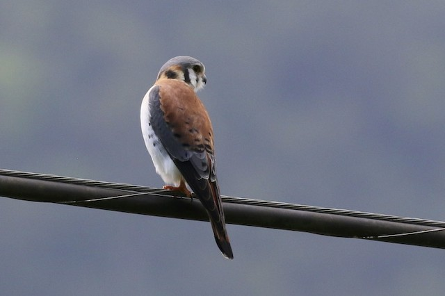 American Kestrel (Cuban)