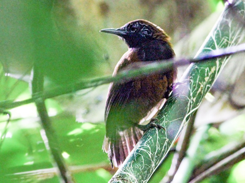 Black-throated Wren - Andrew Spencer