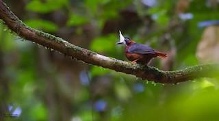 - White-plumed Antbird