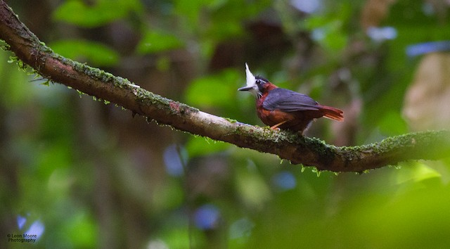 White-plumed Antbird