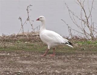 Ross's Goose, ML48000481