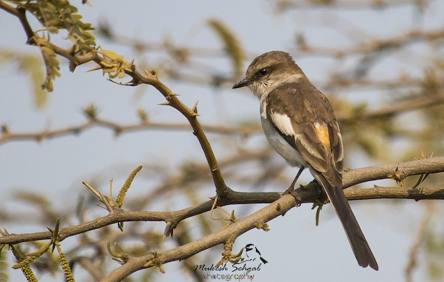 White-bellied Minivet