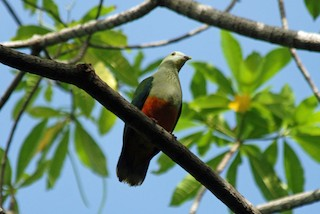 - Silver-capped Fruit-Dove