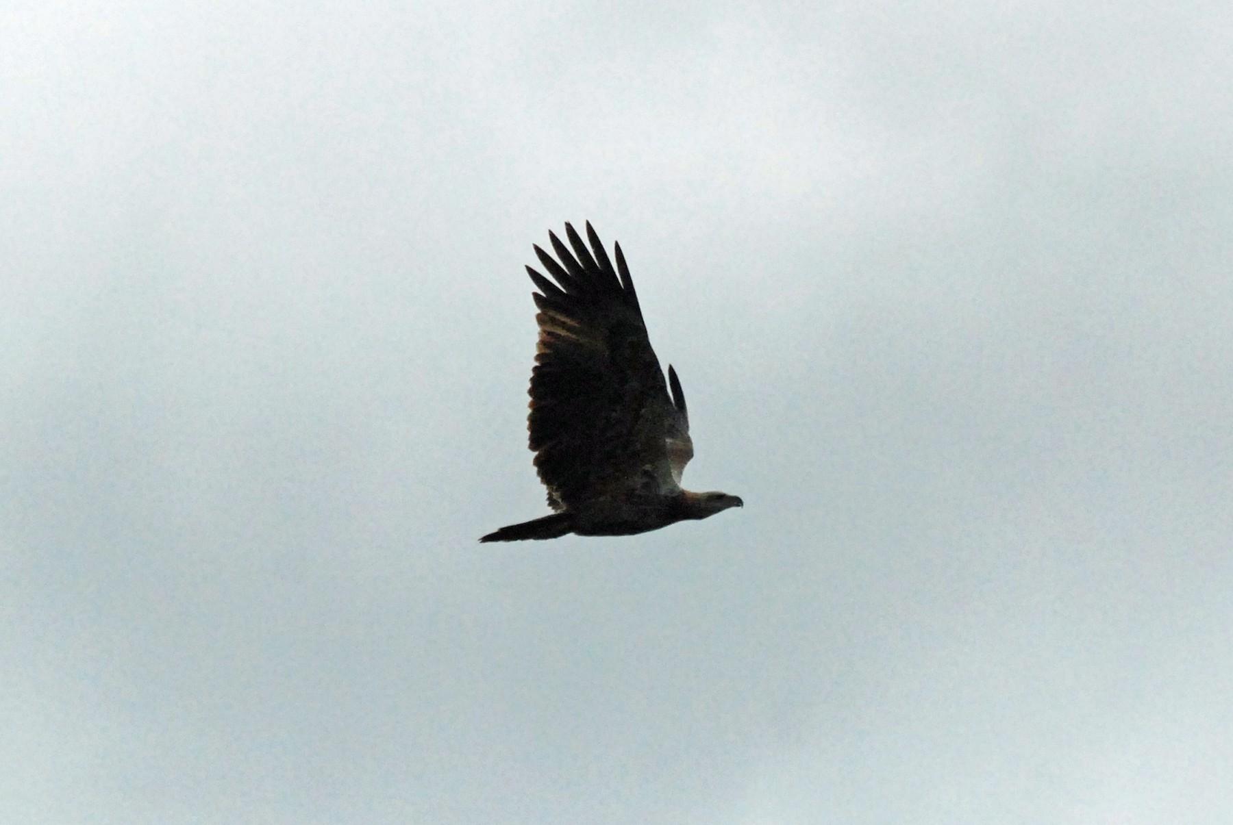 Sanford's Sea-Eagle - Nigel Voaden