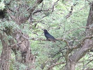 - Black Cuckoo
