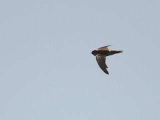 - Seychelles Swiftlet