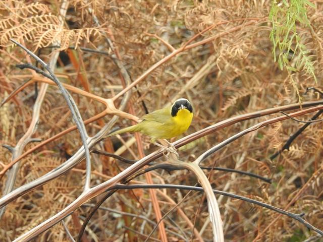 Bahama Yellowthroat