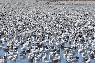 Snow Goose, ML48170641
