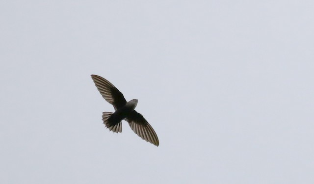 Costa Rican Swift