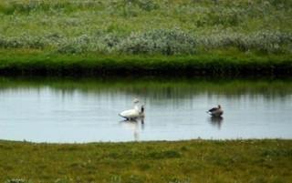 Snow Goose, ML48234371