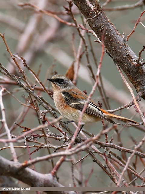 Rufous-backed Redstart