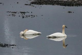 Trumpeter Swan, ML48259881