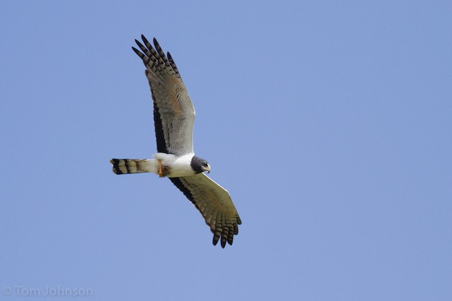 Long-winged Harrier