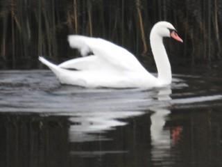 Mute Swan, ML48442661