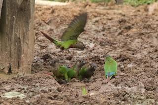 - Bonaparte's Parakeet