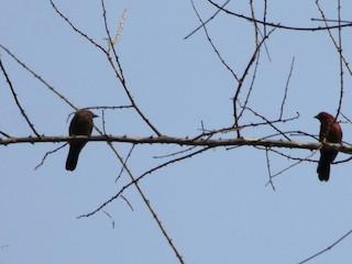 - Mali Firefinch