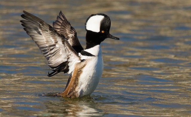 © Jacob Collison - Hooded Merganser