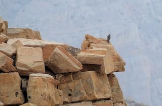 Eurasian Sparrowhawk, ML48759871