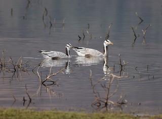 Bar-headed Goose, ML48913071