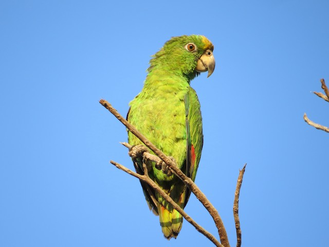 Yellow-crowned Parrot
