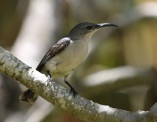 - Mouse-colored Sunbird