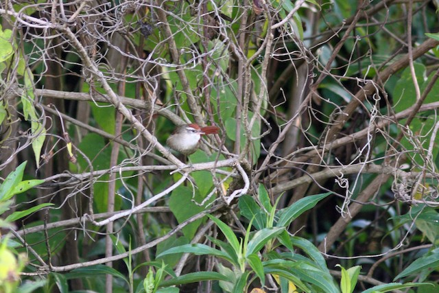 Line-cheeked Spinetail (Baron's)