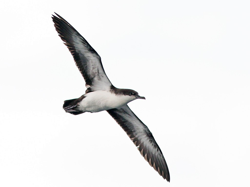 Galapagos Shearwater - Michael O'Brien