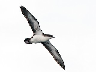 - Galapagos Shearwater (Light-winged)
