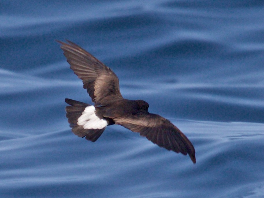 Wedge-rumped Storm-Petrel - Mark Stackhouse