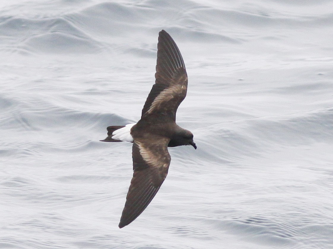Wedge-rumped Storm-Petrel - Michael O'Brien