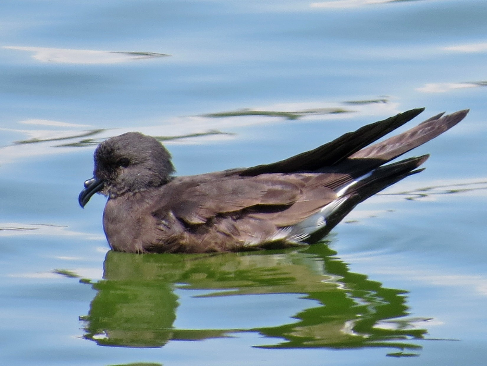 Wedge-rumped Storm-Petrel - Susan Fishburn